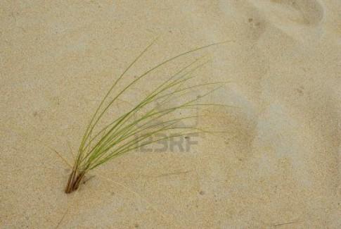 graminacea deserto